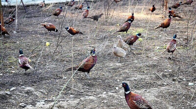 600 фазана