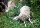 Зарожје, Вукови, овце