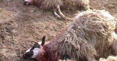 ovca-zaklana