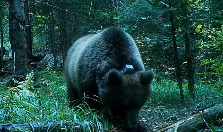 Тара:Медвед Александар добио огрлицу са камером